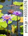 温帯スイレン 睡蓮 スイレンの写真 40331076
