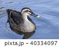 鴨 水鳥 鳥の写真 40334097