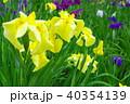 黄色い花菖蒲(クローズアップ) 40354139