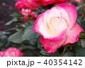 雨上がりのバラ 40354142