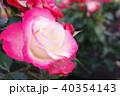 雨上がりのバラ 40354143