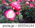 雨上がりのバラ 40354144