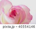 薄桃色のバラ(クローズアップ) 40354146