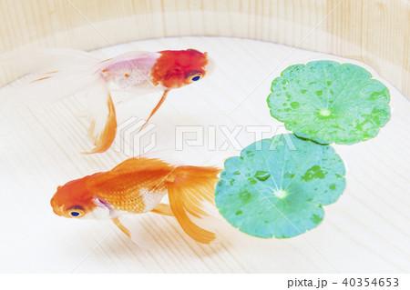 金魚 40354653