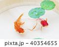 金魚 浮き草 淡水魚の写真 40354655