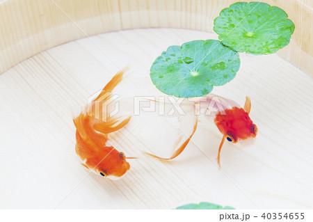 金魚 40354655