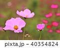 植物 花 コスモスの写真 40354824
