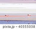 フラミンゴ 塩湖 野鳥の写真 40355038