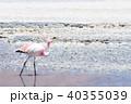 フラミンゴ 野生 野鳥の写真 40355039