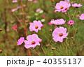 花 コスモス 蕾の写真 40355137