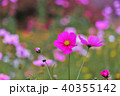 花 コスモス 蕾の写真 40355142
