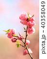 梅 梅の花 春の写真 40358049