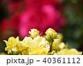 薔薇 バラ 黄色の写真 40361112