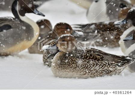 雪の中のオナガガモ 40361264