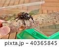 カブトムシ 昆虫 甲虫の写真 40365845