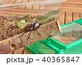 カブトムシ 昆虫 甲虫の写真 40365847