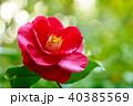 椿 花 紅蝦夷の写真 40385569