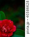 ツバキ・黒龍絞 40386628