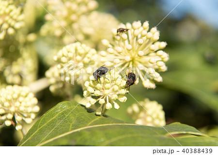 ヤツデの花、虫媒花、ハエ媒花 40388439