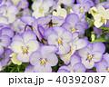 花 ビオラ 植物の写真 40392087
