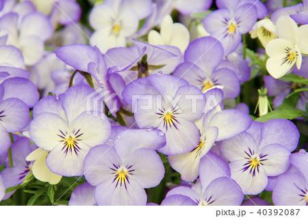 きれいに咲いたビオラの花 40392087