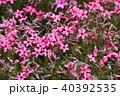 芝桜 植物 ハナシノブ科の写真 40392535