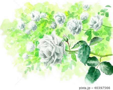 水彩で描いた白いバラ 40397566