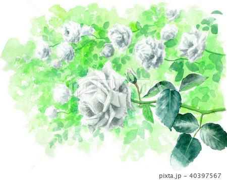 水彩で描いた白いバラ 40397567