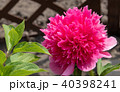 Beautiful peony blooming in allotment 40398241