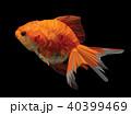 Illustration polygonal drawing of golden fish. 40399469