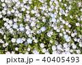 ネモフィラ ムラサキ科 瑠璃唐草の写真 40405493