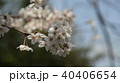 桜 40406654