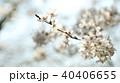 桜 40406655