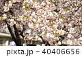 桜  40406656