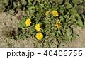 たんぽぽ 40406756