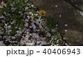 道路に咲くたんぽぽ 40406943
