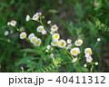 ハルジオン 花 植物の写真 40411312