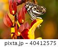 チョウ 蝶 お花の写真 40412575