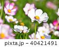 秋桜 コスモス 花の写真 40421491