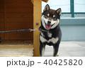 柴犬 40425820