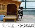柴犬 40425883