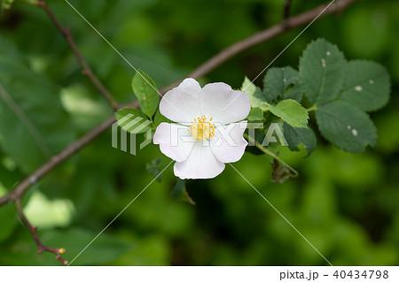 白い一重咲きのばらの花のアップ 40434798