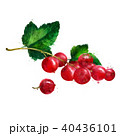 Red currant on white background. Watercolor illustration 40436101