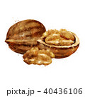 Walnut on white background. Watercolor illustration 40436106