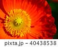 アイスランドポピー ポピー 花の写真 40438538