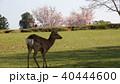 奈良 春日大社境内の鹿 40444600