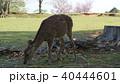 奈良 春日大社境内の鹿 40444601
