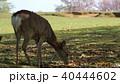 奈良 春日大社境内の鹿 40444602
