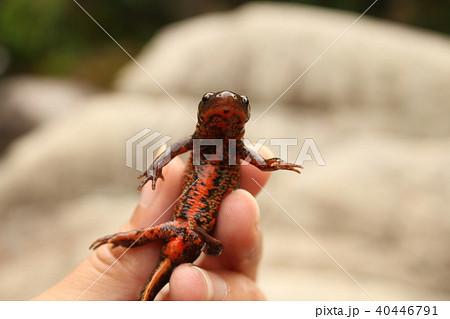 アカハライモリ、ニホンイモリの赤いお腹 (Cynops pyrrhogaster) 40446791