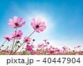 コスモスと青空 40447904